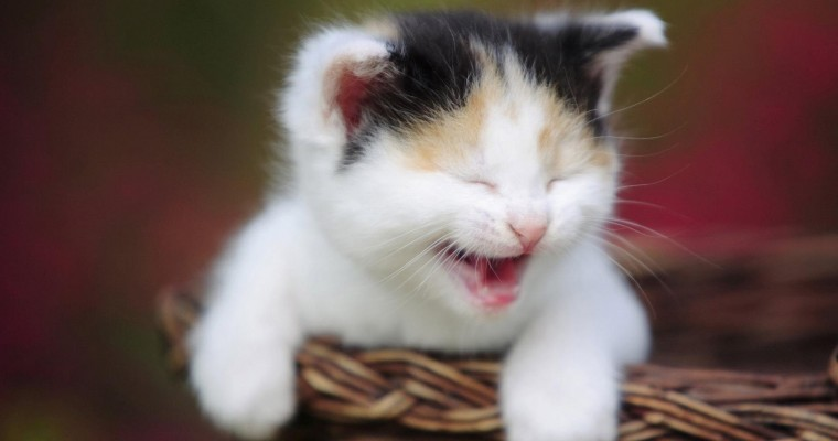 youwall-laughing-cat-free_163632