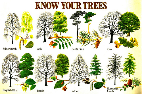 Виды деревьев на английском