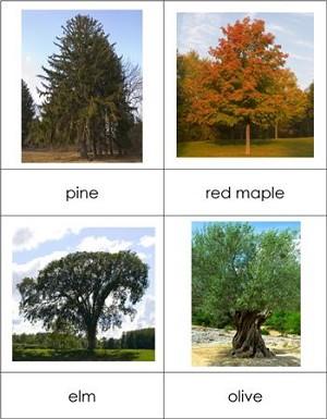 Название деревьев по-английски