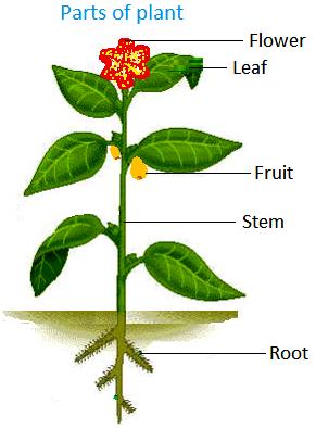 Части растения на английском
